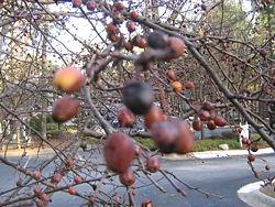 250px-Atlanta_trees_012_854